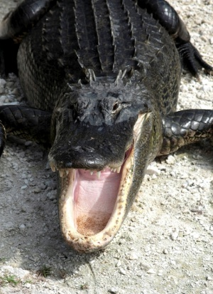 Alligator_mississippiensis_yawn_2