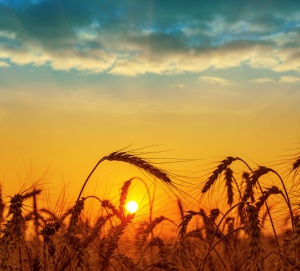 wheat-sunset